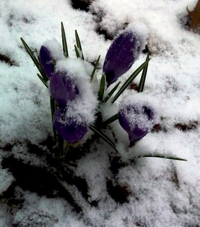 Crocus blooms under snow