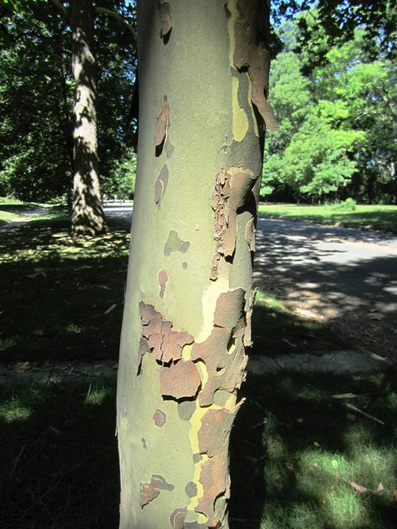 Sycamore in process of shedding