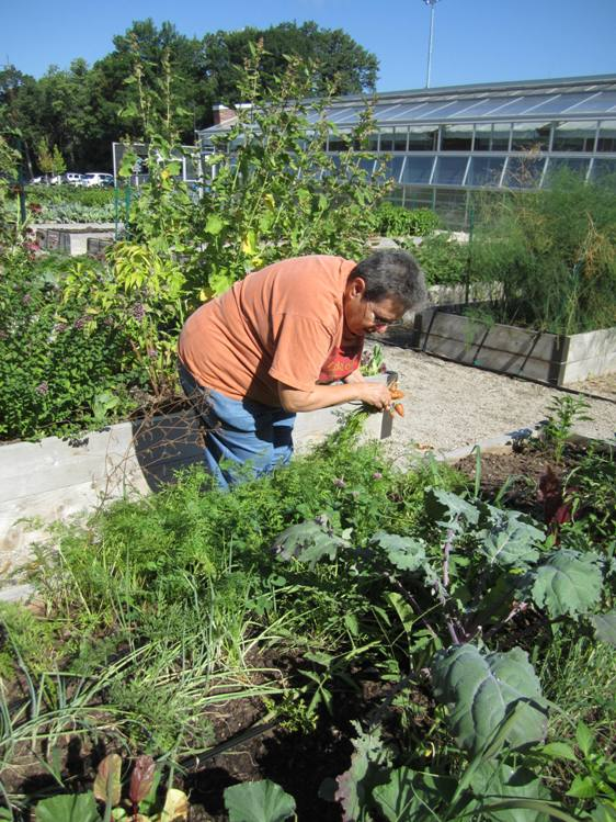 Harvesting carrots from WeAct's group vegetable bed