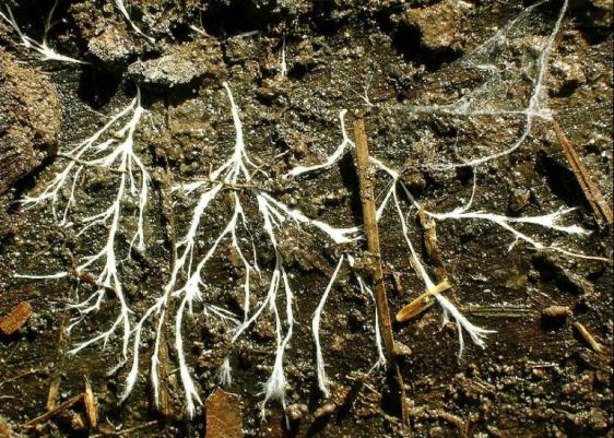 Hyphae (branches of the mycelium) as seen under an overturned log. Photo by TheAlphaWolf (Own work), via Wikimedia Commons