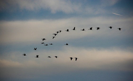 Photo of sandhill cranes in flight by Jessica Lamirand, via Flickr Commons