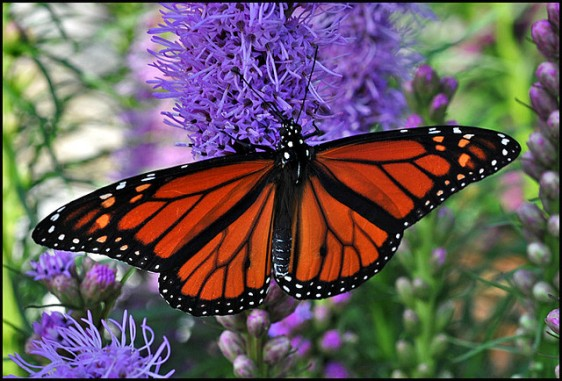 Monarch sipping on liatris, by Gene Wilburn, via Flickr Commons.