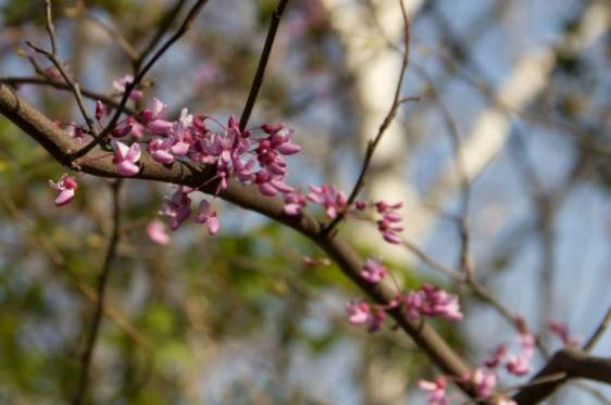 Redbud blossom photo by Heidi Unger.