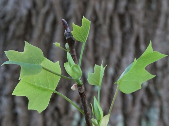 New tulip tree leaves, via Wikimedia Commons