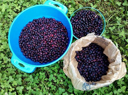 Jerome offered both his strawberry patch and serviceberry grove for picking. Though the strawberries were done, here's the lovely haul of serviceberries my friends and I made that morning.