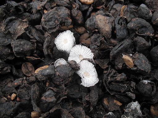 Coffee_pulp_mushroom