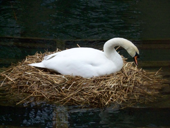 Nesting Mute Swan by Mike Scott