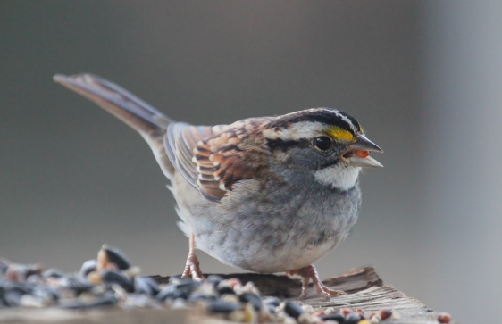 White Throated Sparrow by John Flannery