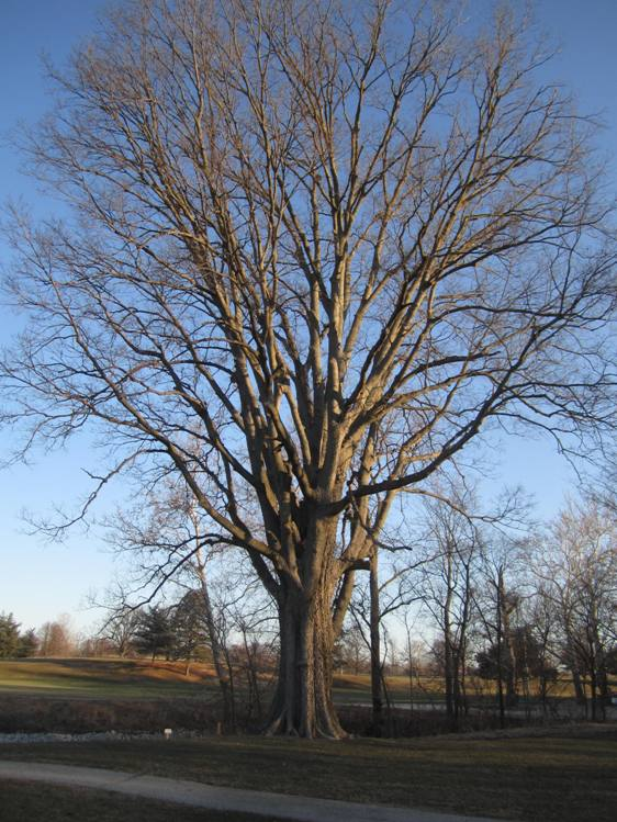 beautiful hackberry (562x749)