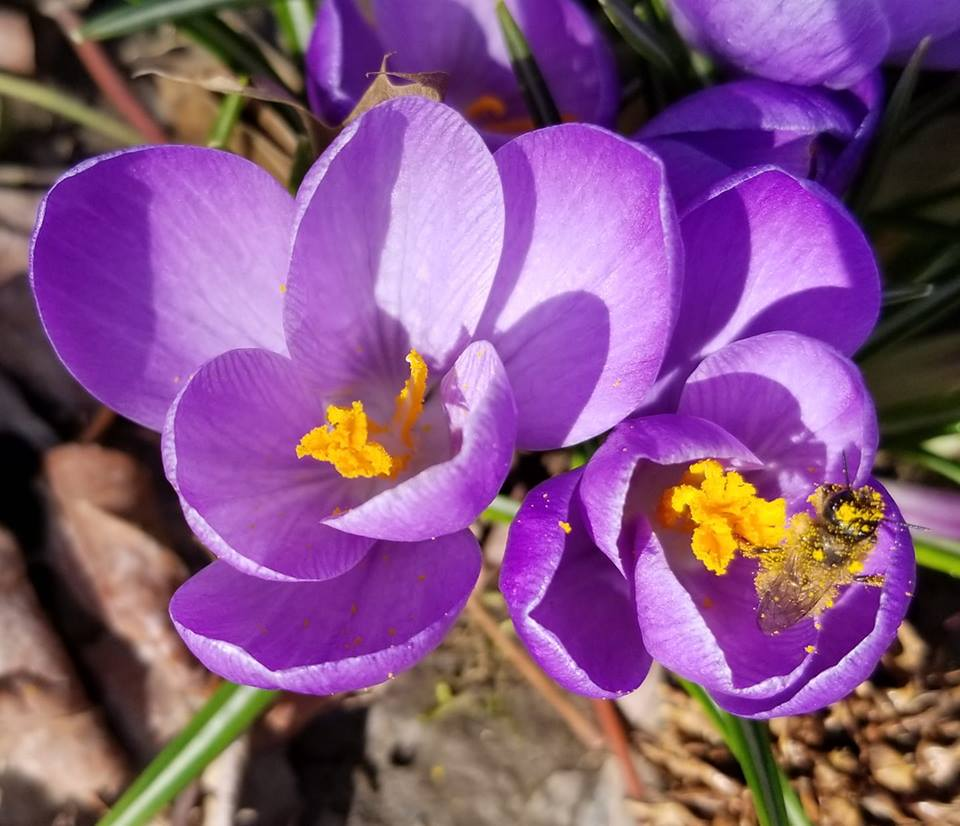 crocus bee